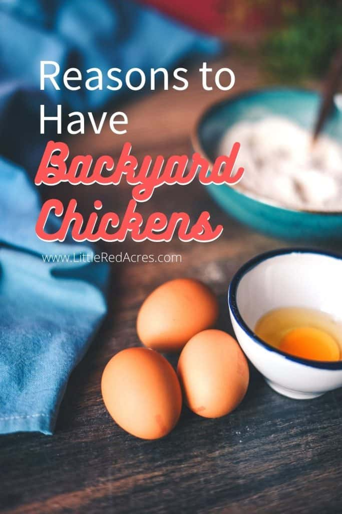 Reasons to Have backyard chickens