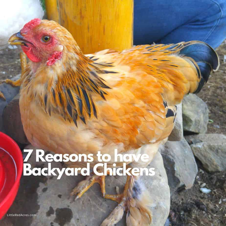 7 Reasons to Have Backyard Chickens - Little Red Acres