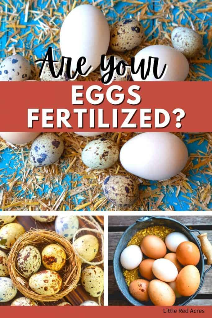 Are your Eggs Fertilized? - Chicken and quail eggs