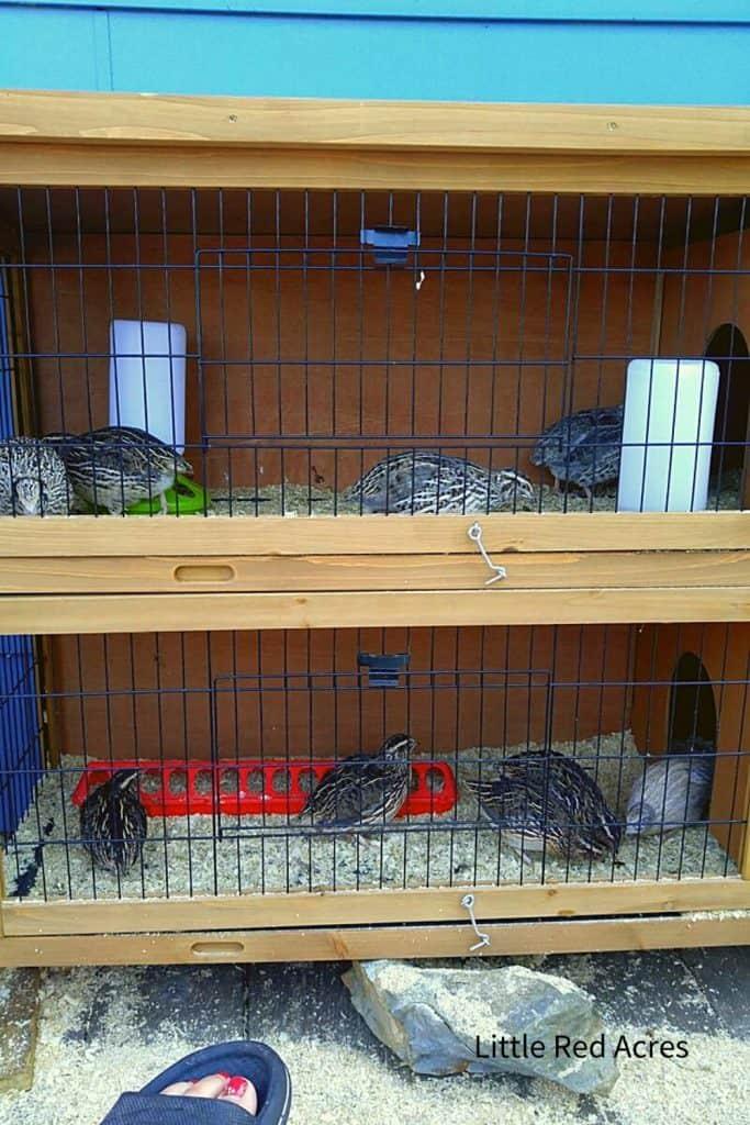 Coturnix Quail cage