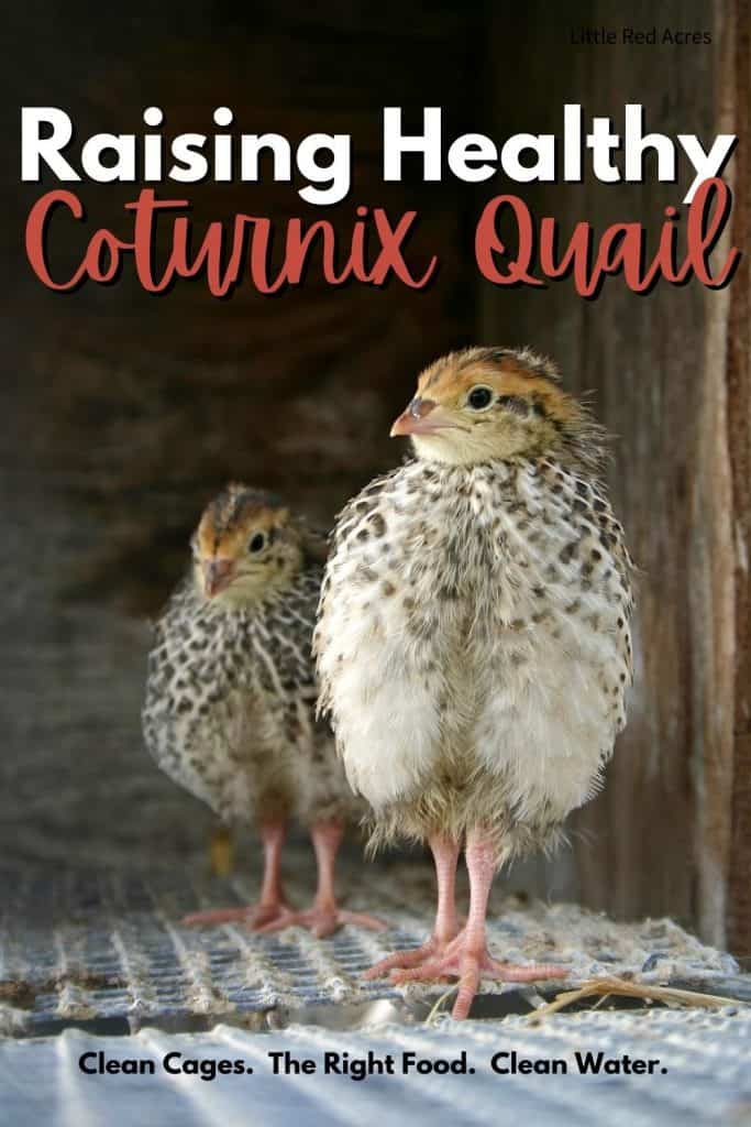 Raising Healthy Coturnix Quail - 2 female quail