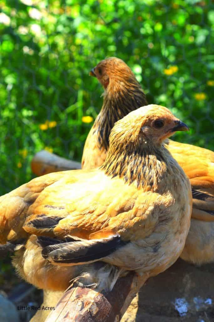 the best Chicken Breeds for beginners - two bantam brahma hens
