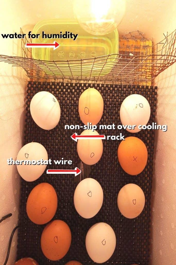 Foam Cooler Egg Incubator - eggs in incubator
