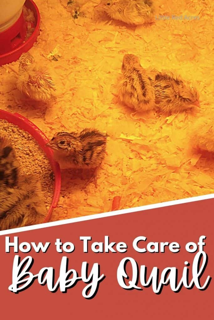 How to Take Care of Baby Quail