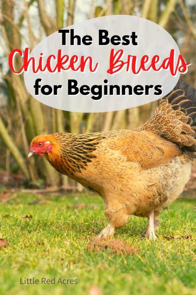 the best Chicken Breeds for beginners